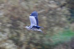 HolderFlying Heron
