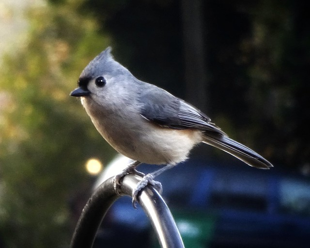 Tufted Titmouse on our, Sony DSC-WX220, Sony 25-250mm F3.3-5.9