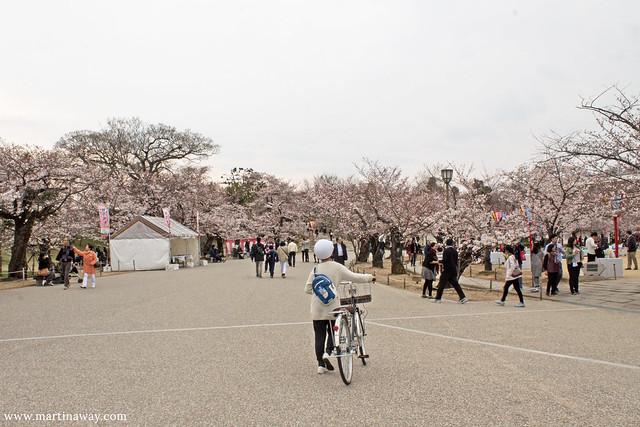 Fioritura dei ciliegi a Himeji