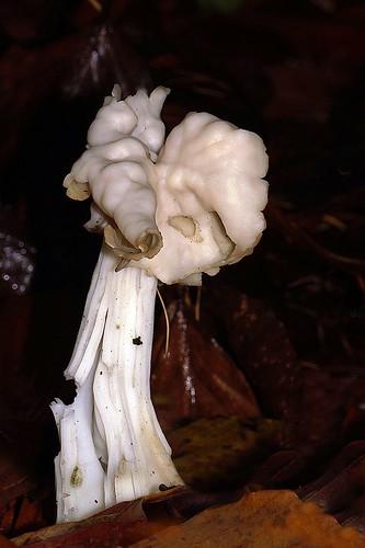 Helvella crispa - Witte kluifzwam