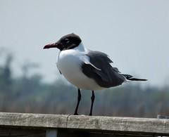 Laughing Gull. Larus atricilla
