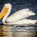 Small photo of American White Pelican, non-breeding adult