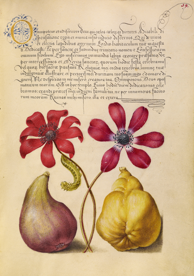 Poppy Anemones, Caterpillar, Fig, and Quince