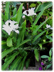Hedychium coronarium (White Ginger Lily, White Ginger, Butterfly Ginger Lily, Garland Flower) is an upright herbaceous plant that grows between 1-2.5 m tall, 15 Nov 2017