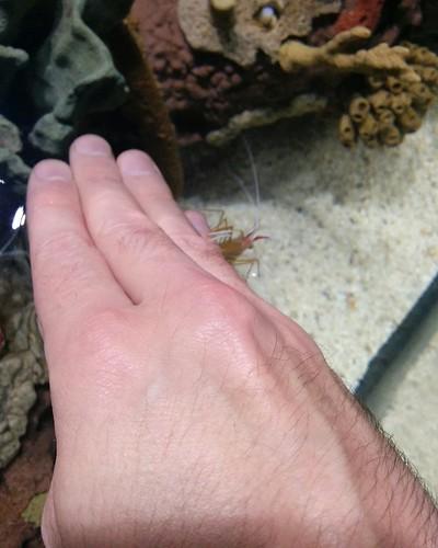 Scarlet cleaner shrimp (2) #toronto #ripleysaquarium #aquarium #shrimp #scarletcleanershrimp #manicure #latergram