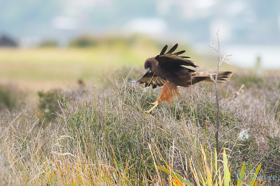 Lõuna, loorkull, Circus, approximans, Swamp, Harrier, Swamp-hawk, New, Zealand, hawk, Pacific, Marsh-harrier, Marsh, Australasian, Kahu, Otago, peninsula, Aotearoa, Kaido Rummel