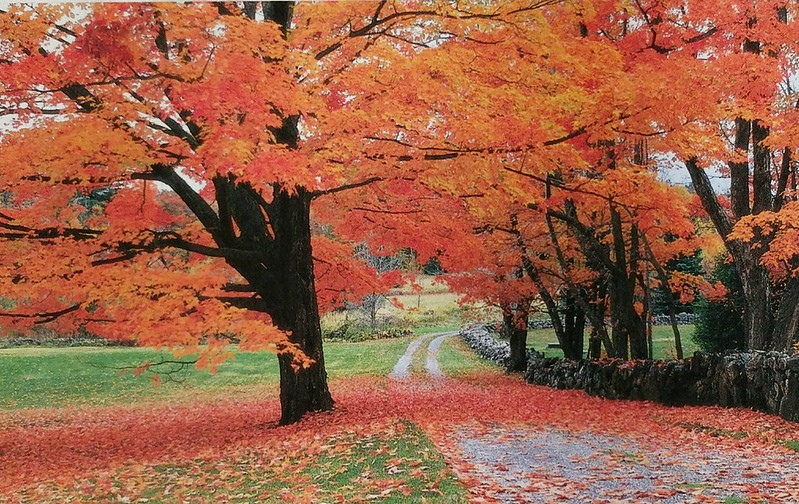 Canada - Nature - Maple tree in Fall
