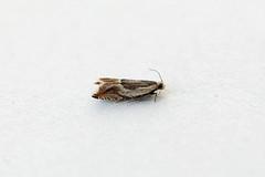 HolderAncylis badiana, St Bees, Cumbria, England