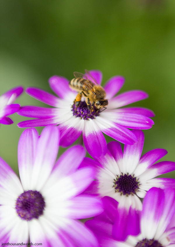 Bee on cineraria