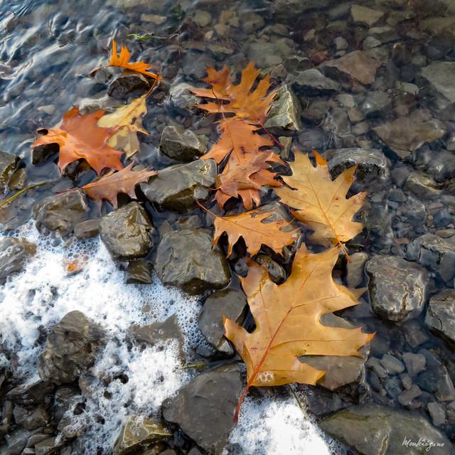 Oak leaves by the water - Feuilles de chêne près de l'eau