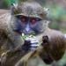 Allen's swamp monkeys by dpsager