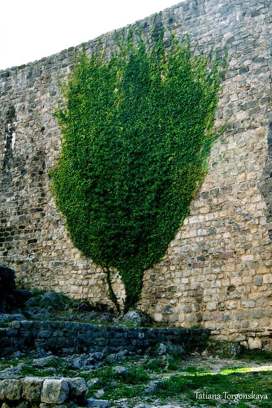 Плющ на стене Цитадели