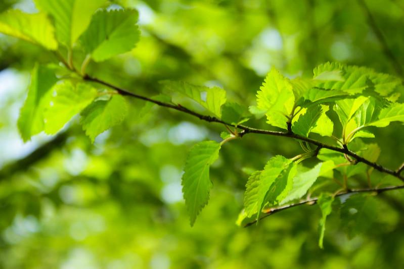 鍋割山の新緑