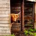 Highland cattle - Kyloe
