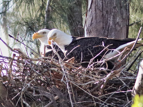 Bald Eagle pair on nest 02-20171111