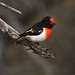 Red-capped Robin (Petroica goodenovii) by Greg Miles