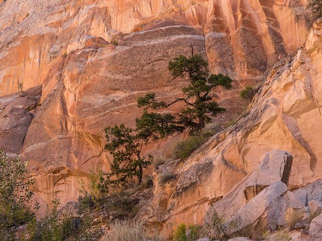Bonsai Pine & Juniper
