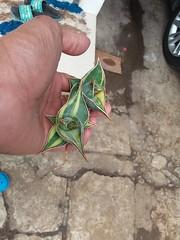 Sansevieria pinguicula variegated