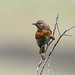 Small photo of Robin Accentor (Prunella rubeculoides)