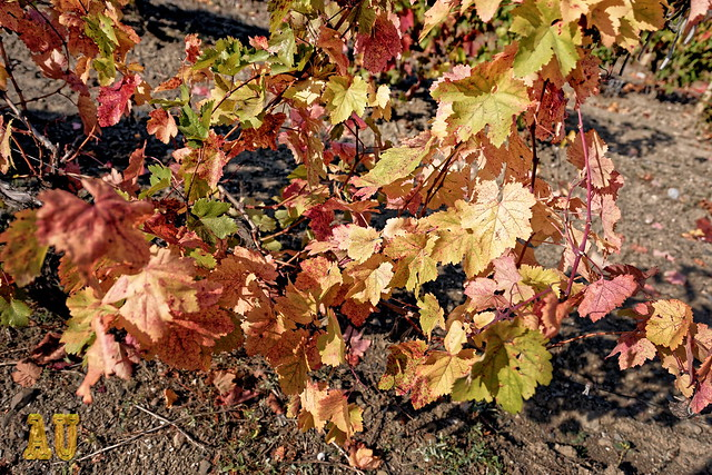 Leafs of Vine in Autumn