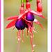 17th Nov 17  Fuchsia still flowering in November