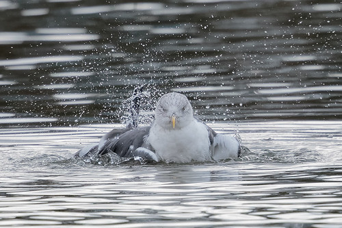 Lesser Black-backed Gull (graellsii) - adult - Dec.