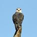 Elanus caeruleus (Black-shouldered Kite) - South Africa