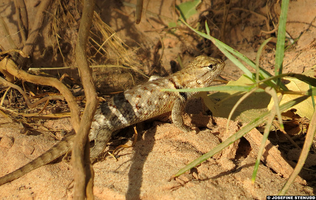 20160820_6 Krappy paparazzi shot of beautiful little desert spiny lizard (Sceloporus magister) | Zion National Park, Utah