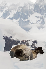 Really Good Looks at This Weddell Seal