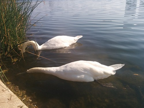 Two swans (6) #toronto #highpark #grenadierpond #birds #swans #white #latergram