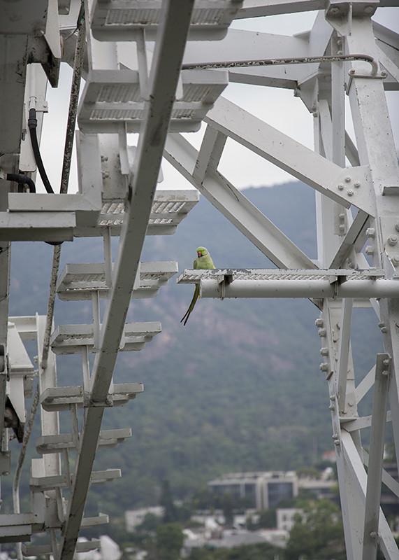 Rose-ringed Parakeet. Psittacula krameri. Hong Kong.