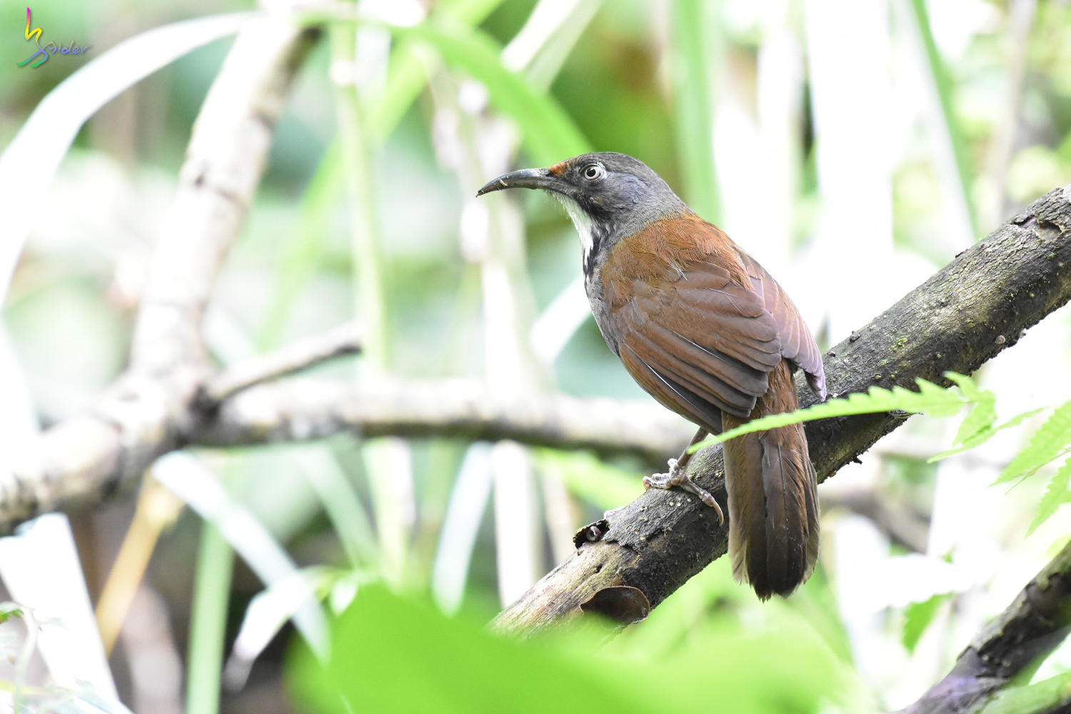 Rusty-cheeked_Scimitar-Babbler_0710