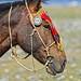 Horse Champ Khovd Mongolia DSC_5508 by JKIESECKER