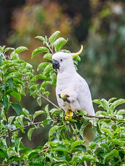Sulphur Crested Cockatoo, into the apples...