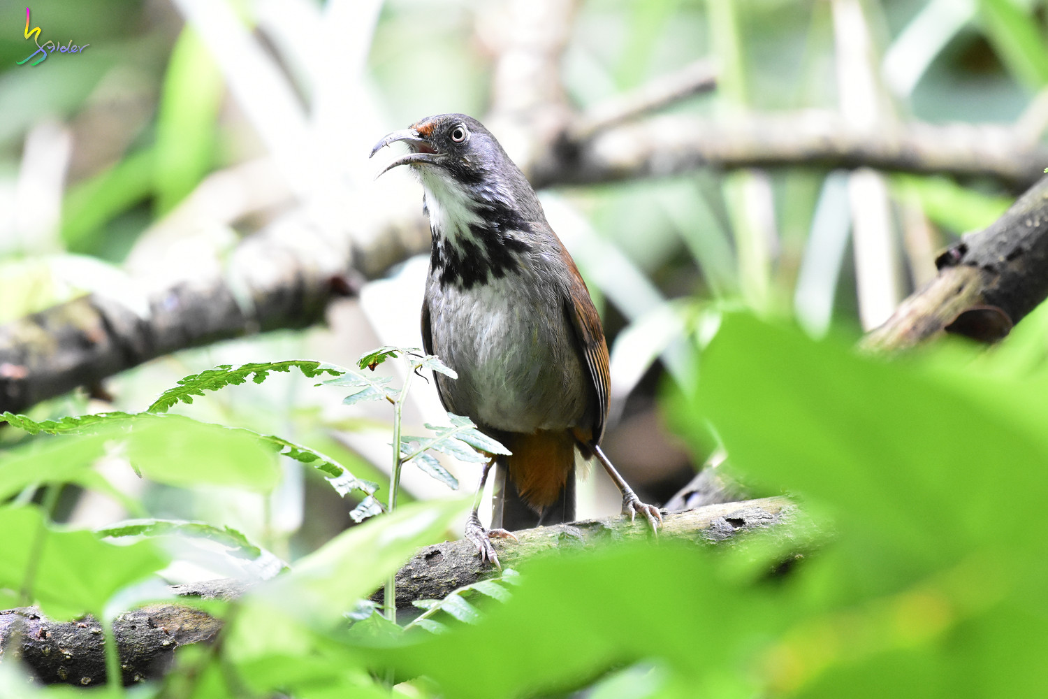 Rusty-cheeked_Scimitar-Babbler_0719