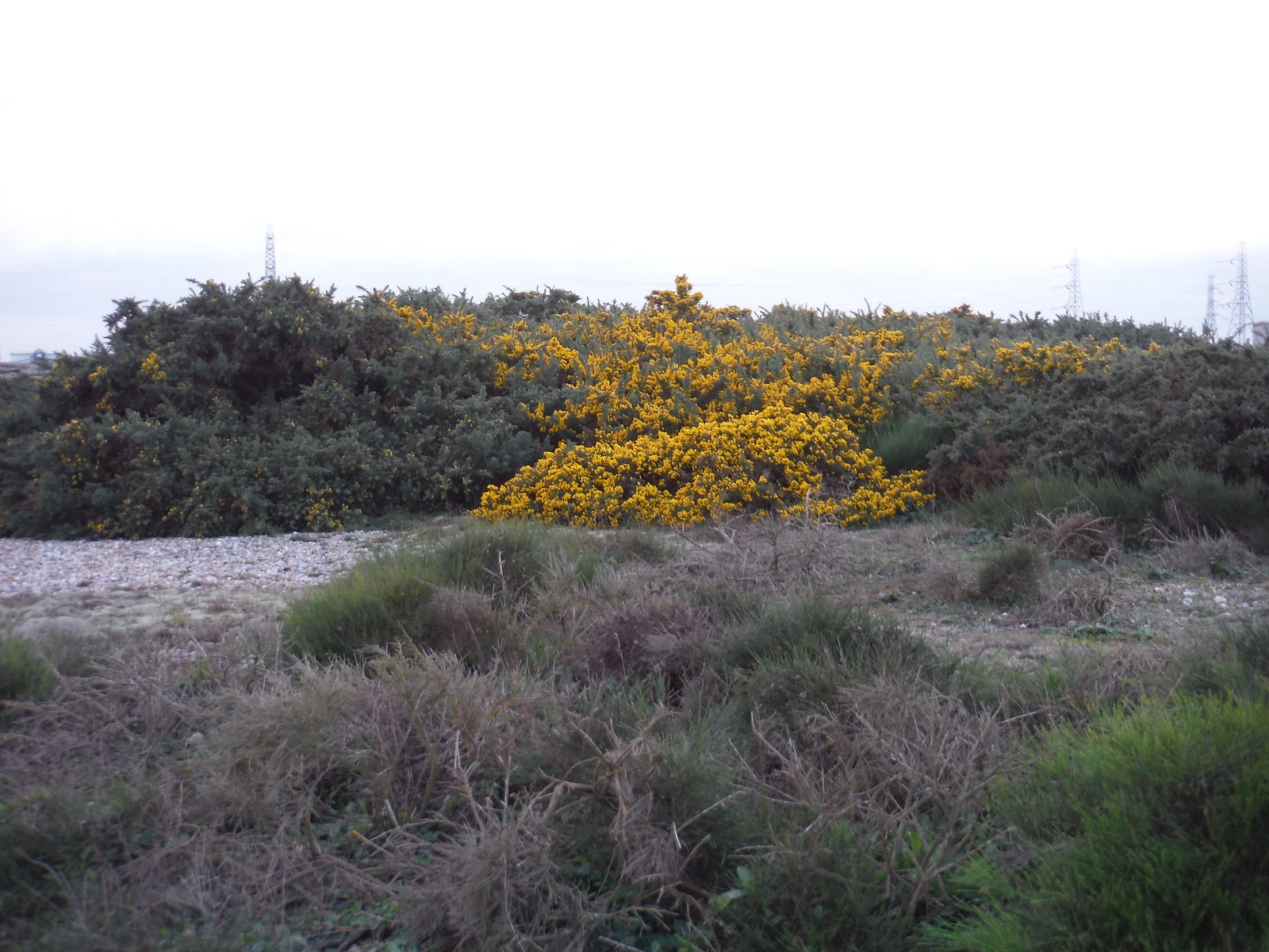 Broom Bush Patch, Dungeness NNR SWC 154 - Rye to Dungeness and Lydd-on-Sea or Lydd or Circular (Lydd Ending)