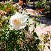 Mission San Luis Obispo 9/11/17 #missionslo #garden #roses