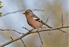 Winter Chaffinch.