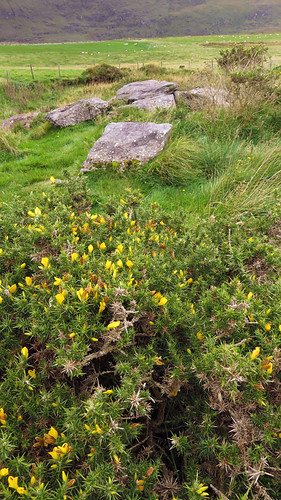 Yellow flowers on an extremely prickly Gorse at Mt. Brandon on the Dingle Peninsula in Ireland