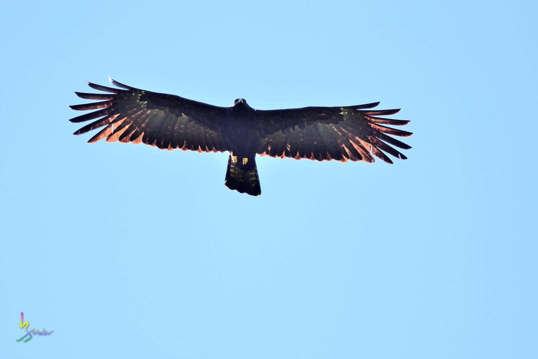 Black_Eagle_3762