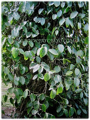 Piper nigrum (Black Pepper, Common Pepper, Pepper Vine/Plant, White/Madagascar Pepper, Lada Hitam in Malay) is a woody climber that typically grows to a height or length of 3-4.6 m, 15 Nov 2017