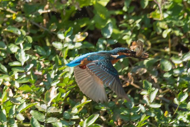 20171113-kingfisher-DSC_7657