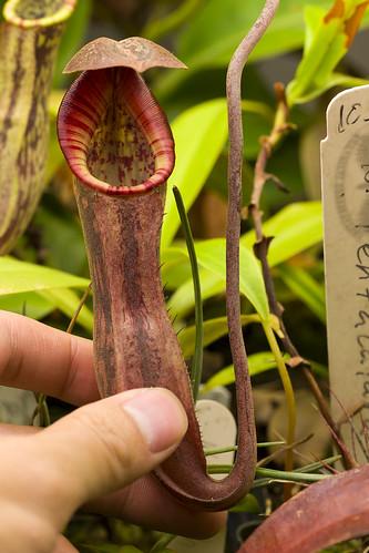 Nepenthes boschiana Sakumbang BE