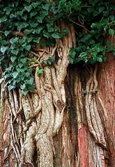 "Cincinnati – Spring Grove Cemetery & Arboretum ""Tree Trunk"""