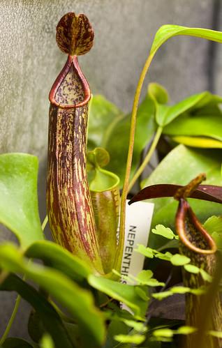 Nepenthes copelandii Apo