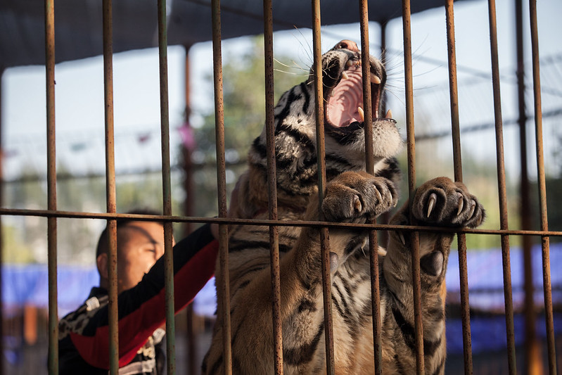 A tiger being mistreated for performance at Xiamen Haicang Safari Park
