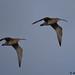 curlew 14 2017 x 2 in flight