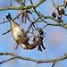 Goldfinch on Alder