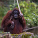 Orangutag - Paignton Zoo