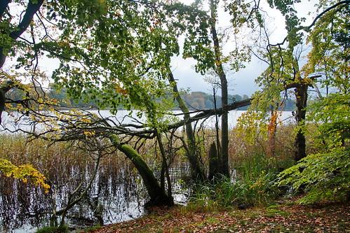 silkeborg sø lake efterår fall autumn skov forest træ tree leaf blad green water vand waterfront vandkant knæk broken